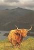 A highland cow or Heeland Coo as the Scottish pronounce it.  This is a postcard I sent home.