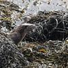 Otter op Mull