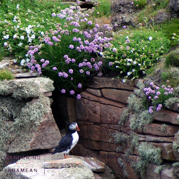 More puffin