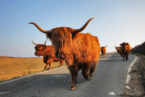Traffic on Skye