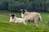 Glengorm Castle blackfaced sheep