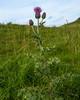 Thistle, the symbol of Scotland