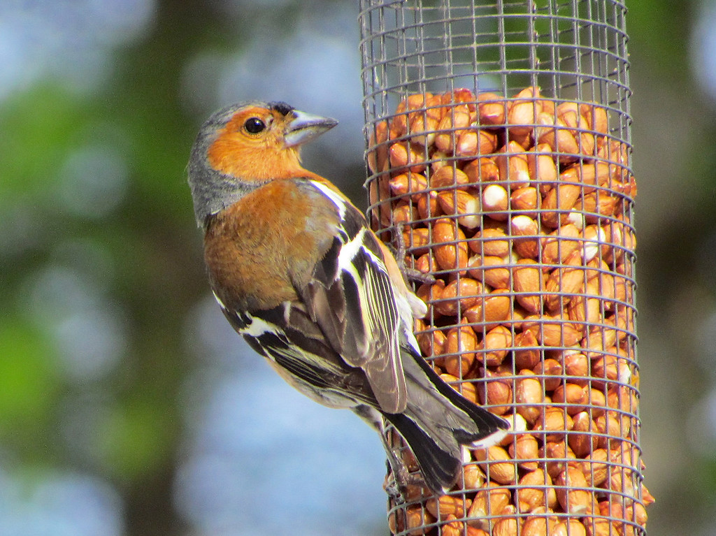 Common Chaffinch on the bird feeder at Na Fir Chlis