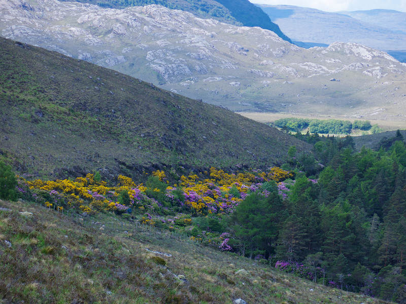 A blend of Rhododendron and Gorse