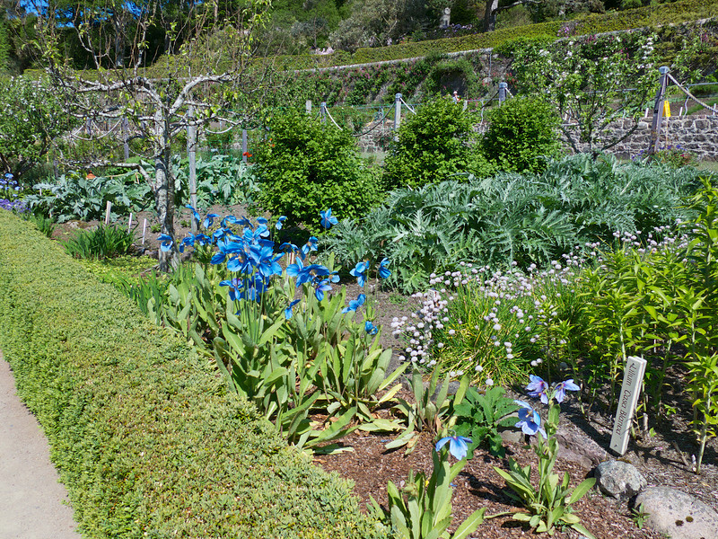 This walled garden has a 15 foot high wall that creates a micro-climate where they can grow a wide variety of plants   Notice the size of the artichokes in June