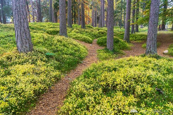 A trail through the woods at Loch an Eilein, Cairngorms