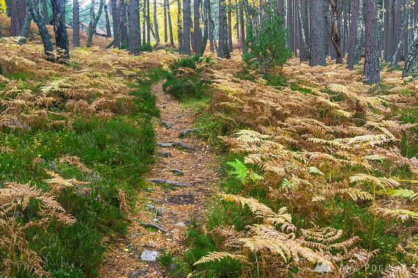Fern forest near Loch an Eilein, Cairngorms