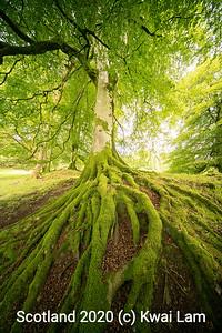Beech Roots 2