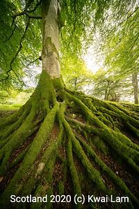 Beech Roots1