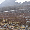 As we ascended the trail in Cairngorm National Park into areas covered with dormant  heather,  bare rocks, and snow patches , we spotted a herd of Scottish reindeer grazing.