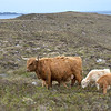 Highland cow with 3 calves.