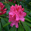 Rhododendron have escaped from estate plantings and grow wildly along roadsides and in some forested areas.   They love the Scottish climate and their deer don't seem to munch on them!