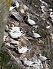 A huge Gannet colony on the cliffs.
