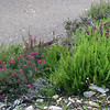 Several varieties of heather.