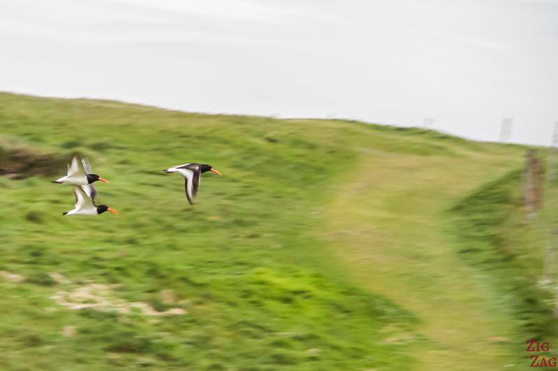 Yesnaby Orkney Cliffs birds