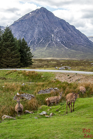 Buachaille Etive Mor - from the Kings House Hotel with red deers 2