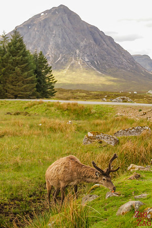 Buachaille Etive Mor - from the Kings House Hotel with red deers 3