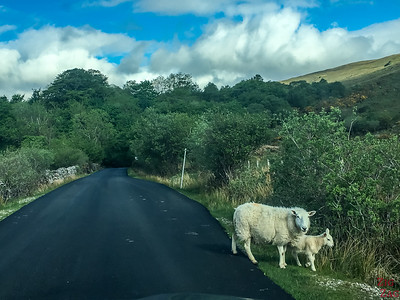 Dangers driving Scotland - Sheep
