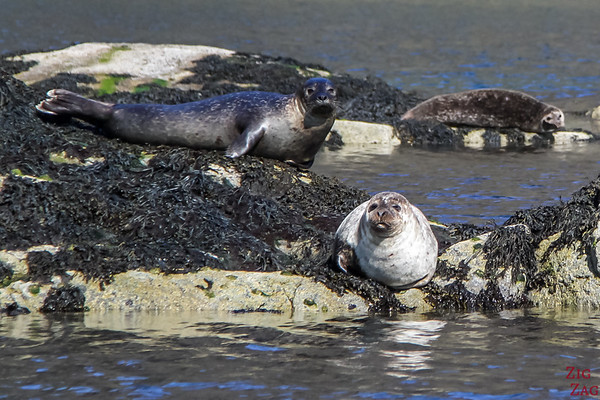 Loch Coruisk Seal Colony 4