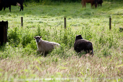 Sheep and cattle are still part of every farm.