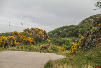 Dangers driving Scotland - deer