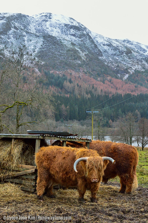 Scottish Highlands road trip cannot be completed without spotting Highland Coos!