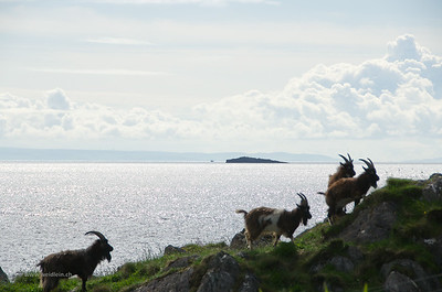 Wild goats near Port Ellen, Islay