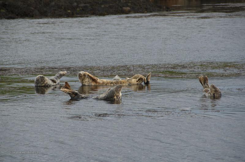 Seals, south west coast, Islay