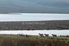 Three Sheep, Isle of Skye, Inner Hebrides, Scotland, United Kingdom, Europe