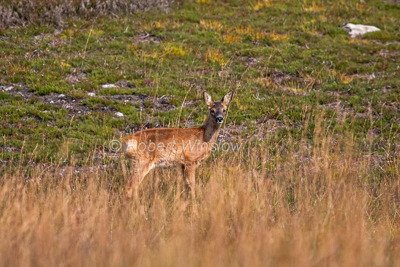 Roe Deer, Capreolus capreolus,  Blair Atholl, Scotland, United Kingdom, Europe
