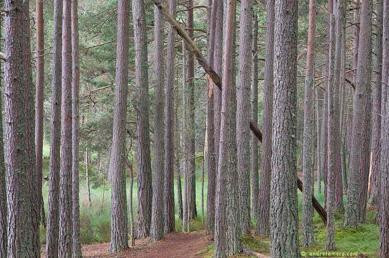 Bosque de Abernethy