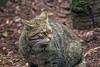 Scottish Wildcat, Felis silvestris grampia, Royal Zoological Society of Scotland's Highland Wildlife Park, Kincraig, Scotland, United Kingdom, Critically Endangered