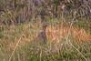Red Grouse, Lagopus lagopus scotica, Moorcock, Moorfowl, Moorbird, CairnGorm Mountain, Cairngorms National Park, Scotland, United Kingdom, Europe