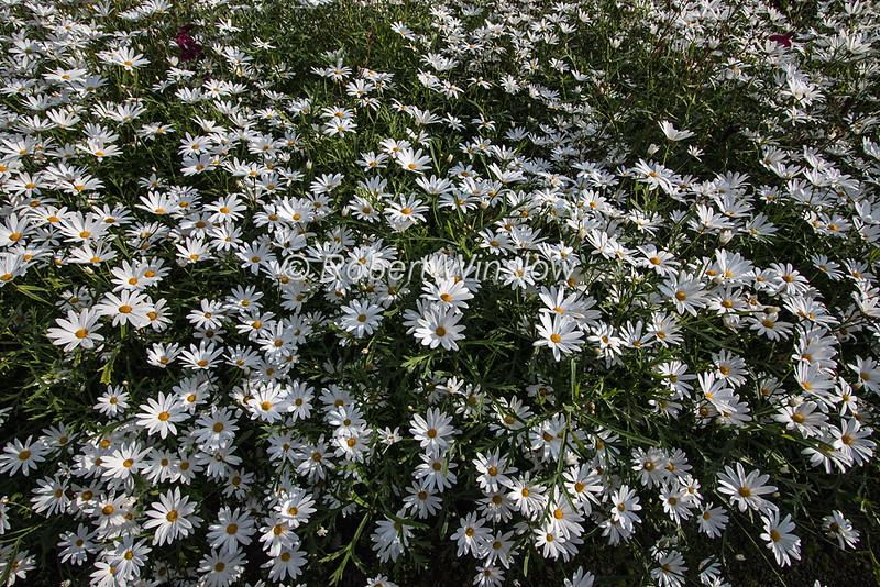 Argyranthemum canariense, Garden of Dunvegan Castle, Isle of Skye, Inner Hebrides, Scotland, United Kingdom, Europe