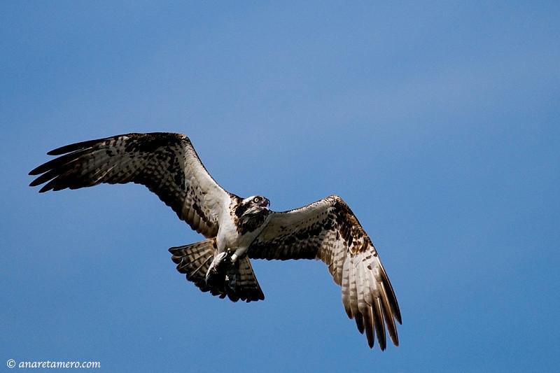 Águila pescadora (Pandion haliaetus)/ Osprey