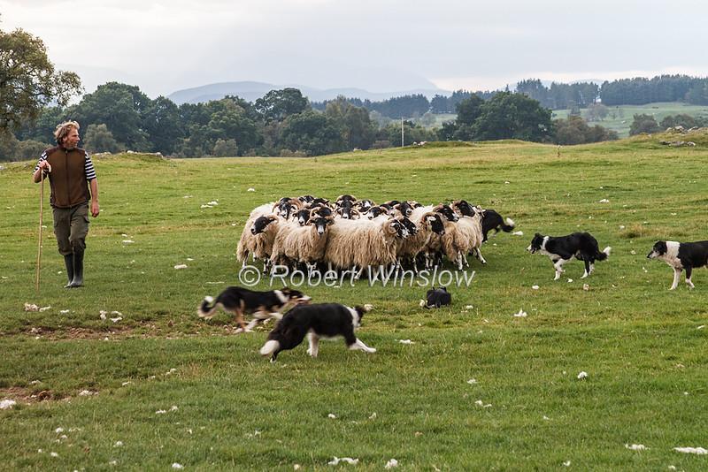 Sheep, Border Collie, Working Sheepdog Demonstrations at Leault Farm, Kincraig, run by Neil Ross, Scotland, United Kingdom, Europe