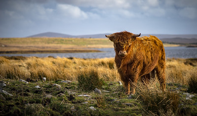 Highland Cattle - Isle of Lewis