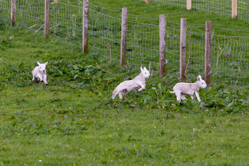 Playful lambs on Canna Island