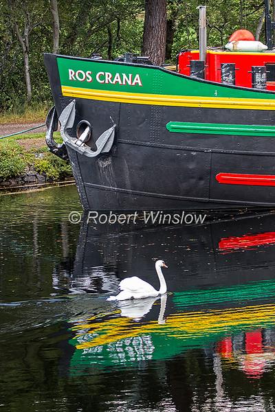Mute Swan, Cygnus olor, Caledonain Canal, Great Glen, Scottish Highlands, Scotland, United Kingdom, Europe