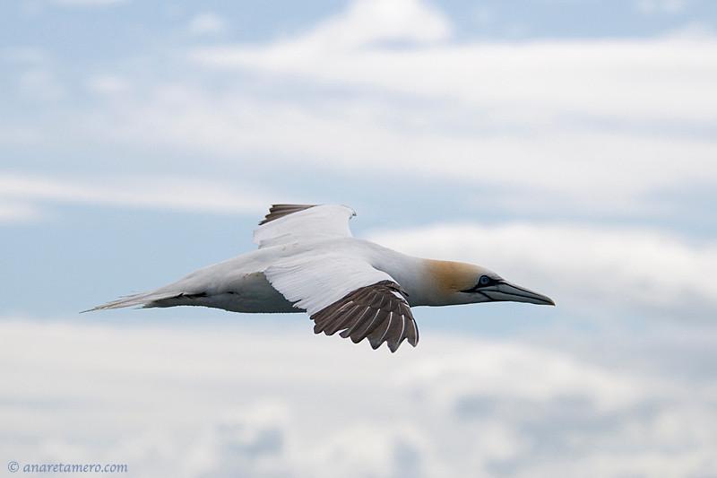 Volando con alcatraces (Morus bassanus)