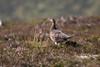 Red Grouse, Lagopus lagopus scotica, Moorcock, Moorfowl, Moorbird, Blair Atholl, Scotland, United Kingdom, Europe