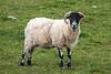 Scottish Black-faced Sheep, Kincraig, Scotland, United Kingdom, Europe