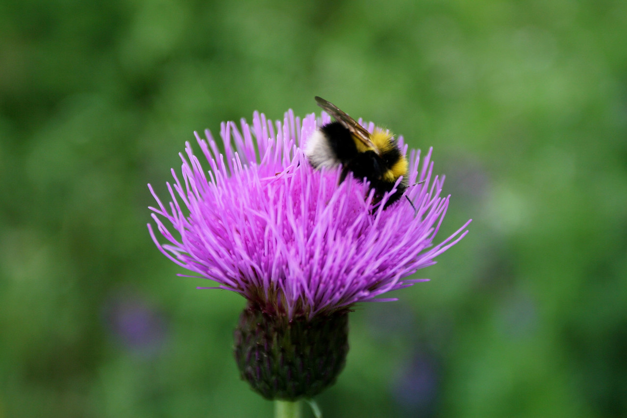The Scottish thistle - the national flower of Scotland.  Legend goes that the Brits threw out this weed, but the Scottish being cheap...picked it up for free and made it the national symbol :)