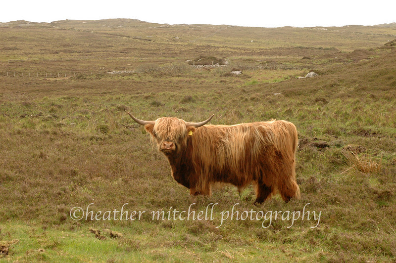 "Highland Cow, Isle of Coll  <form target=""paypal"" action=""https://www.paypal.com/cgi-bin/webscr"" method=""post""> <input type=""hidden"" name=""cmd"" value=""_s-xclick""> <input type=""hidden"" name=""hosted_button_id"" value=""2735427""> <table> <tr><td><input type=""hidden"" name=""on0"" value=""Sizes"">Sizes</td></tr><tr><td><select name=""os0""> 	<option value=""Matted 5x7"">Matted 5x7 $20.00 	<option value=""Matted 8x10"">Matted 8x10 $40.00 	<option value=""Matted 11x14"">Matted 11x14 $50.00 </select> </td></tr> </table> <input type=""hidden"" name=""currency_code"" value=""USD""> <input type=""image"" src=""https://www.paypal.com/en_US/i/btn/btn_cart_SM.gif"" border=""0"" name=""submit"" alt=""""> <img alt="""" border=""0"" src=""https://www.paypal.com/en_US/i/scr/pixel.gif"" width=""1"" height=""1""> </form>"
