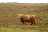 """Highland Cow, Isle of Coll  <form target=""""paypal"""" action=""""https://www.paypal.com/cgi-bin/webscr"""" method=""""post""""> <input type=""""hidden"""" name=""""cmd"""" value=""""_s-xclick""""> <input type=""""hidden"""" name=""""hosted_button_id"""" value=""""2735427""""> <table> <tr><td><input type=""""hidden"""" name=""""on0"""" value=""""Sizes"""">Sizes</td></tr><tr><td><select name=""""os0""""> <option value=""""Matted 5x7"""">Matted 5x7 $20.00 <option value=""""Matted 8x10"""">Matted 8x10 $40.00 <option value=""""Matted 11x14"""">Matted 11x14 $50.00 </select> </td></tr> </table> <input type=""""hidden"""" name=""""currency_code"""" value=""""USD""""> <input type=""""image"""" src=""""https://www.paypal.com/en_US/i/btn/btn_cart_SM.gif"""" border=""""0"""" name=""""submit"""" alt=""""""""> <img alt="""""""" border=""""0"""" src=""""https://www.paypal.com/en_US/i/scr/pixel.gif"""" width=""""1"""" height=""""1""""> </form>"""
