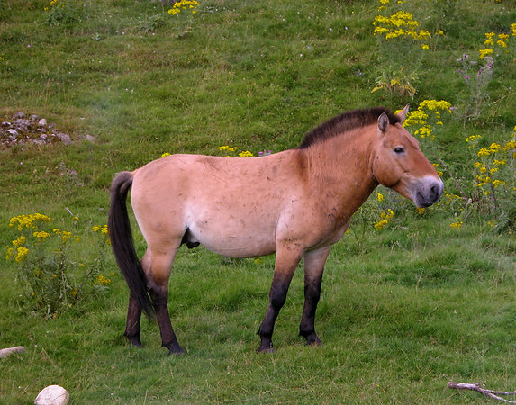 Steppe Horse at the Highland Wildlife Park