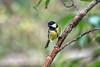 Great tit, Parus major, Cairngorms National Park, Scotland, United Kingdom, Europe