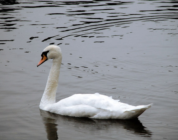 Wild Swan on Loch Lomond