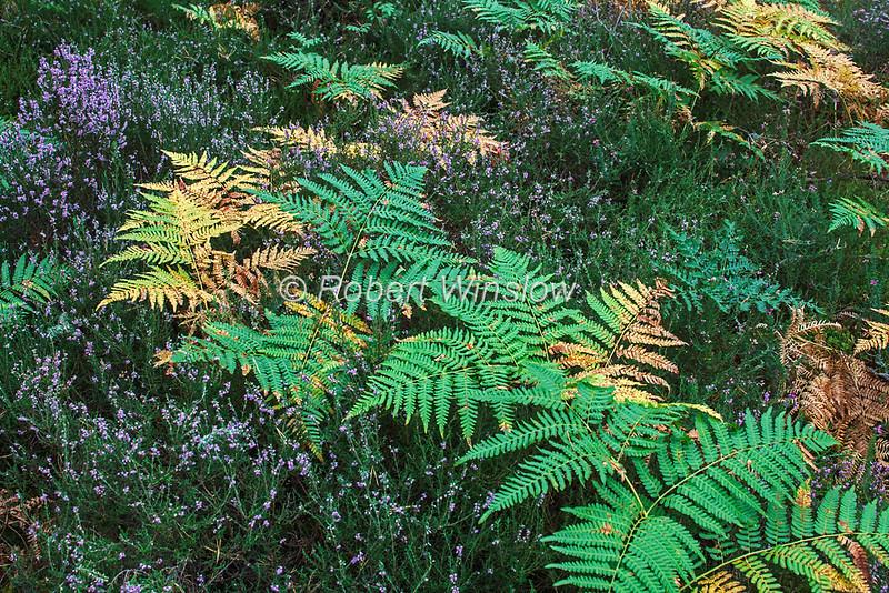 Ferns and Heather, Scottish Highlands, Scotland, United Kingdom, Europe