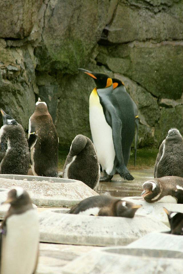 love the King Penguins.  Yes, there are not native to Scotland, but were visiting the zoo